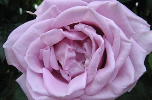 5470-Rosa-Sissi-