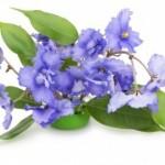 8471600-fleurs-violettes-bleu-doux-isole-sur-fond-blanc