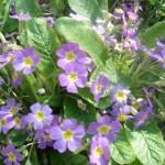 med-Visoflora-primeveres-violettes-253